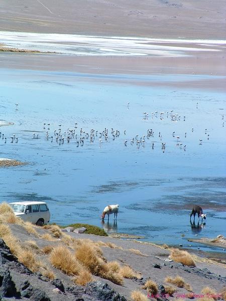 Beautiful flamingos and llamas in Bolivia