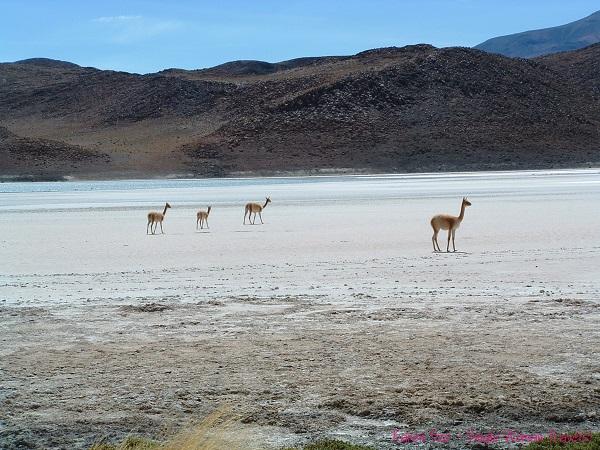 Roaming vicuñas in Bolivia