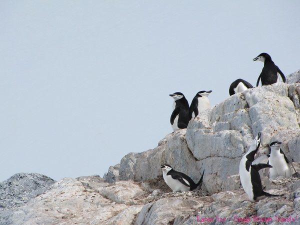 A Chinstrap penguin screams to attract attention above Orne Harbour, Antarctica