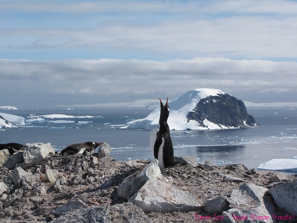 A single Gentoo penguin shouts out at the top of Danko Island, Antarctica
