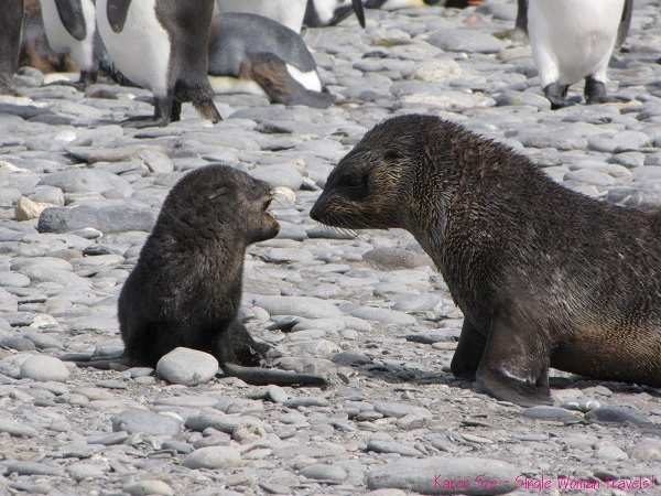A tiny Antarctic fur seal pup screams to another fur seal pup in excitement