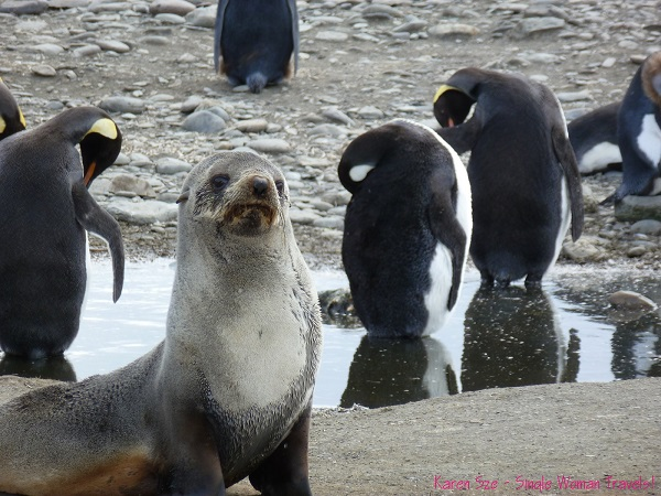 Antarctica fur seal with King Penguins in the background