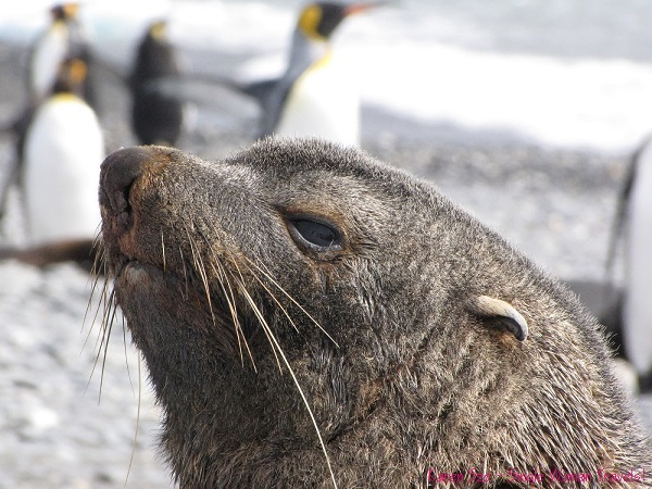 Closeup of a proud Antarctic fur seal - I think he's very photogenic