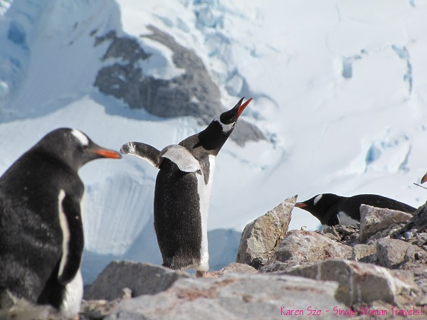 Gentoo penguin twist and shout with elation