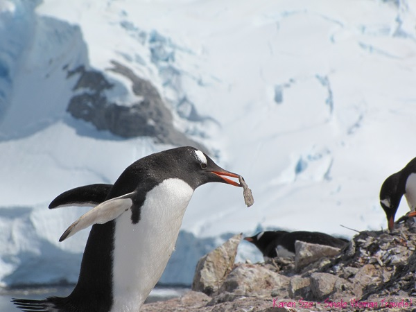 Gentoo penguins are known rock robbers!