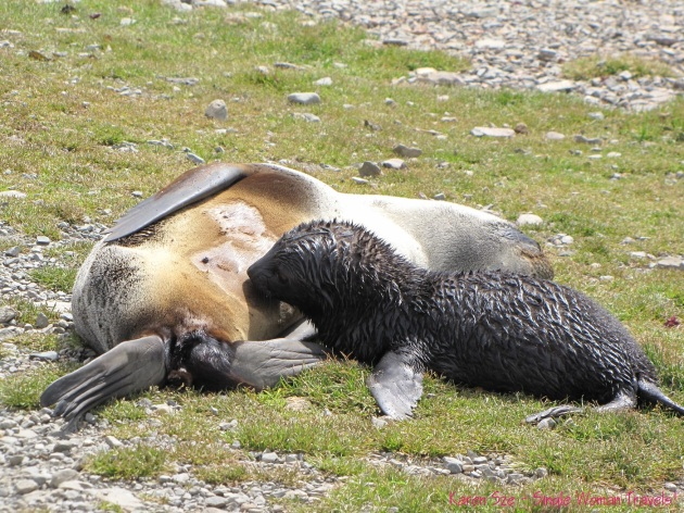 Antarctic fur seal nurses her seal pup, while basking in the sun.