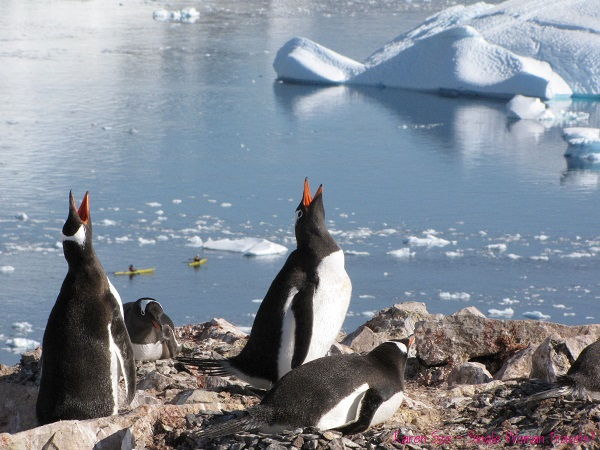Two Gentoo penguins screams from excitement above Orne Harbour, Antarctica