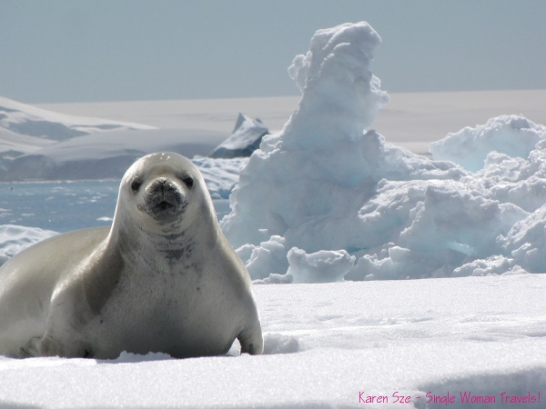 Weddell seal sitting on an iceberg, ready for his photo shoot