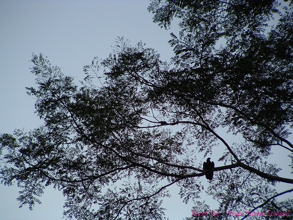 Who is watching who - eagle sitting on tree branch in the Amazon
