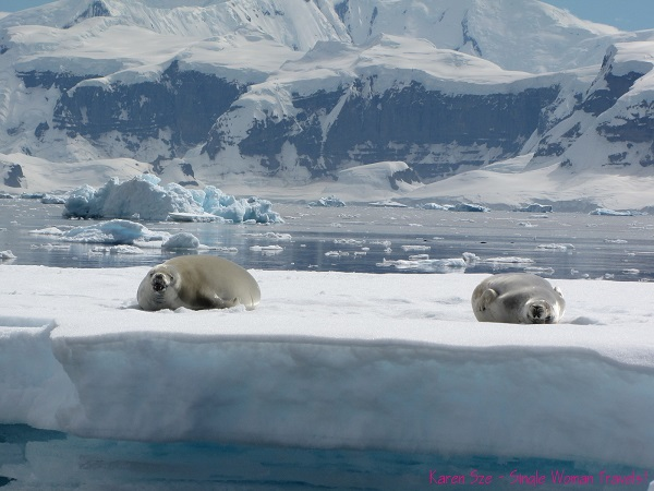 Ying & Yang crabeater seals basking in the Antarctic sun