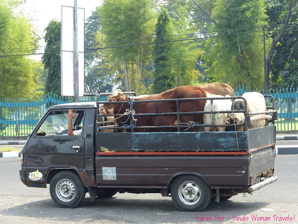 Cattle truck in Central Java, Indonesia