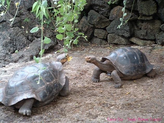 Giant Tortoise battle for food Galapagos Islands, Ecuador