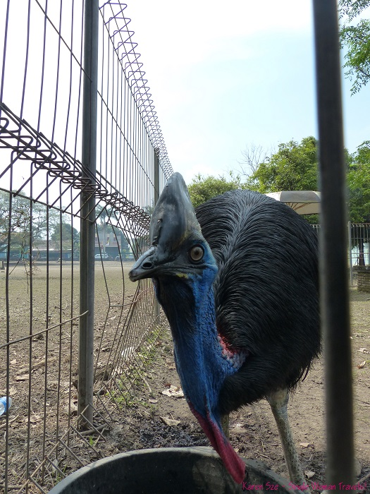 Staring contest with a Cassowary