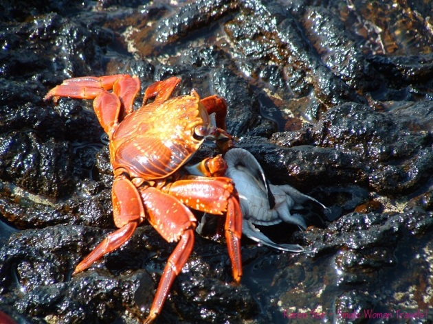 Survival of the fittest - Sally Lightfoot Crab eats baby sea turtle Galapagos Islands, Ecuador