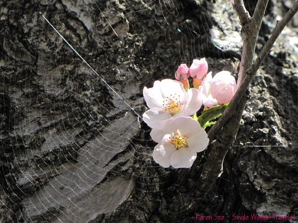 Cherry blossom with spider web in High Park, Toronto, Canada