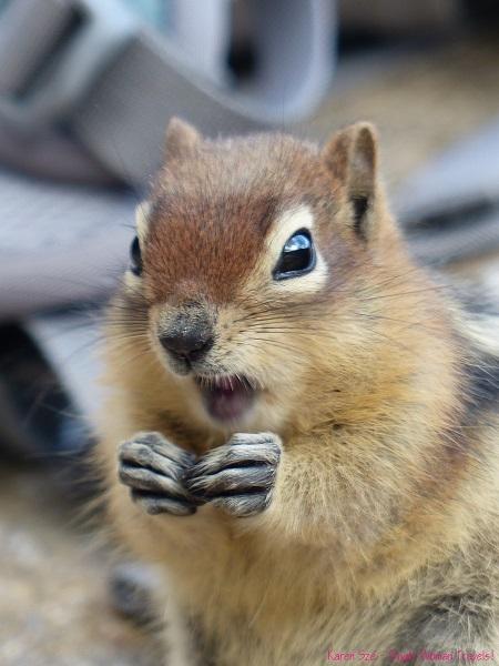 Chipmunk shrieks for attention