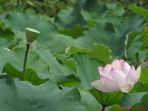Lotus in Sydney Australia