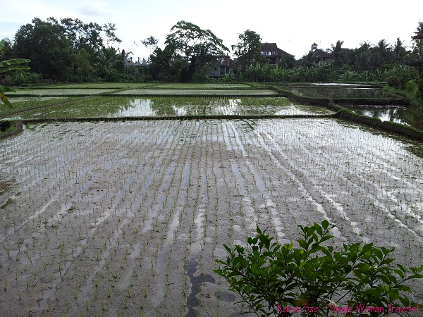 One of many rice paddy in Ubud, Bali, Indonesia