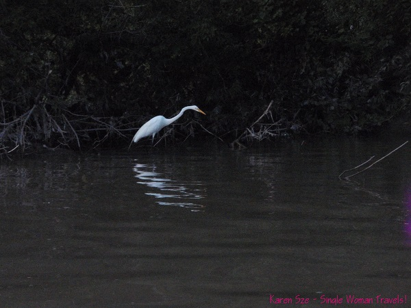 Stunning White Egret on a fishing trip of his own at Humber River, Toronto, Canada