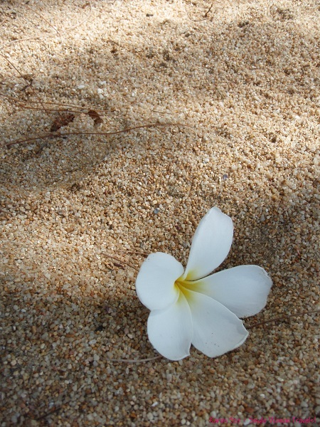 White frangipani on beach sand