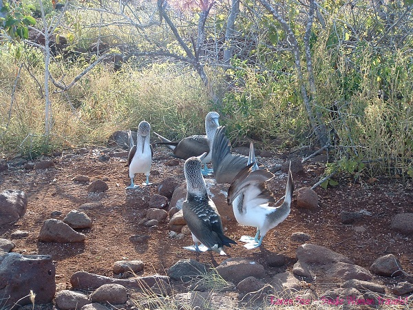 Blue-footed booby performing mating dance on Galapagos islands