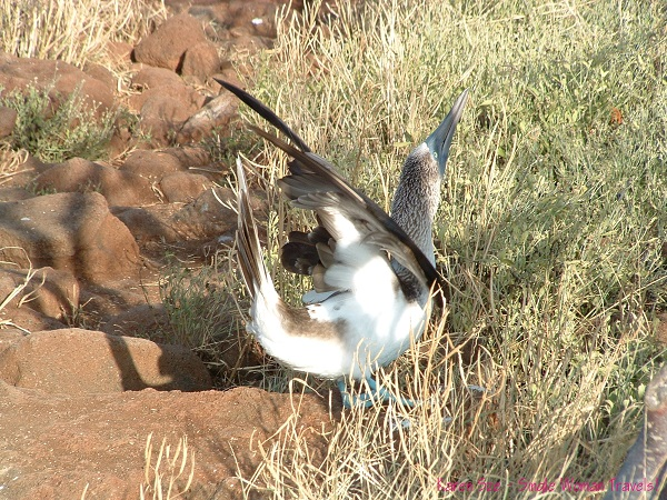 Male blue-footed booby dances for his mate