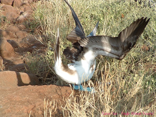 Male blue-footed booby in full mating dance mode