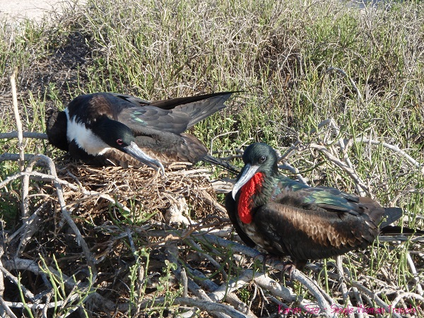 Pair of magnificent  frigatebirds nesting on the Galapagos islands
