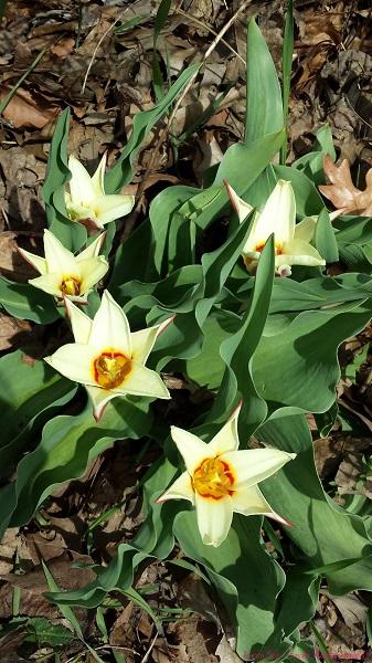 Tulips in bloom 2014 Toronto Spring