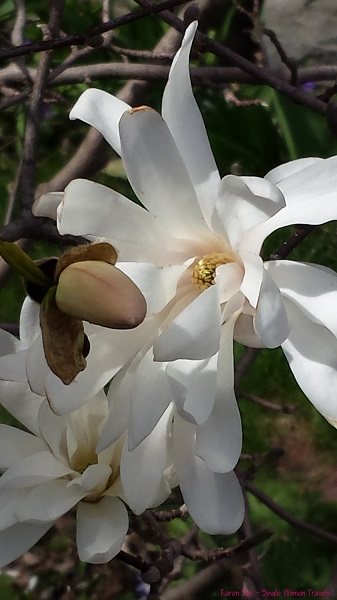 White magnolia in bloom and bud 2014 Toronto Spring