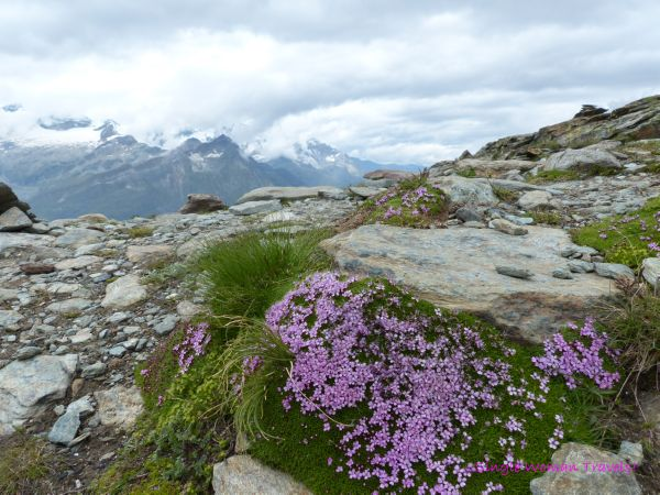 Alpine plants and flowers on the Swiss Alps