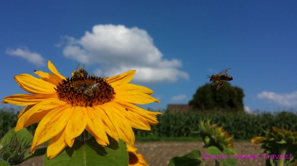 Landing pad on sunflower for honey bee in Switzerland