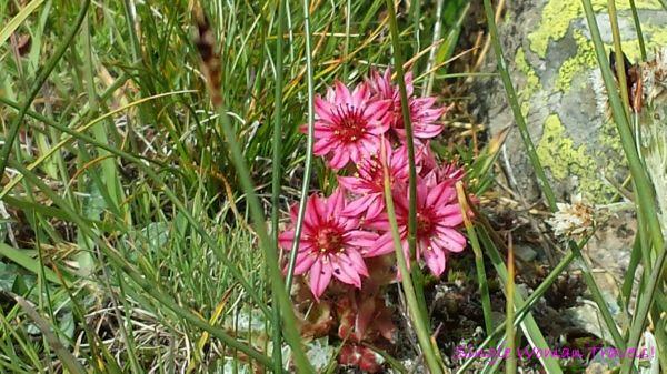 Pink alpine flower from Gornergrat Switzerland