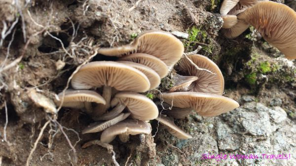 Wild mushroom found on hiking trail of Gornergrat Switzerland