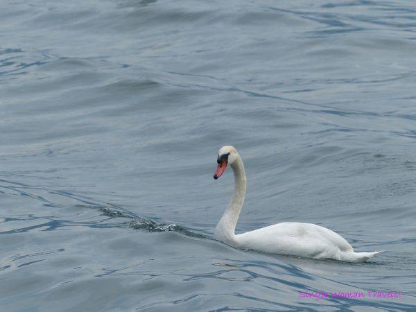 Magestic swan on the lake