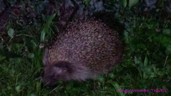 Totem animal - hedgehog - Switzerland - Ecublens