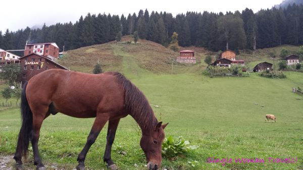 Beautiful horse in Ayder Kaçkar Mountains Turkey