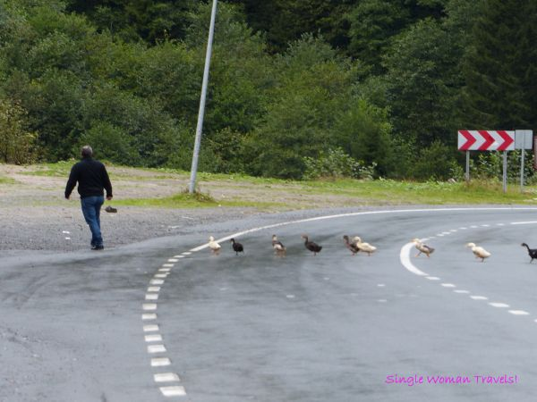 Ducklings following their dad home