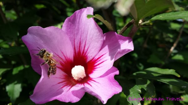 Macro - Flowering mallow with bee