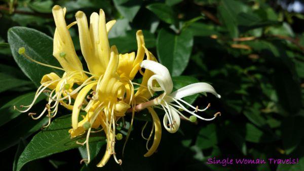 Macro - Jasmine flower