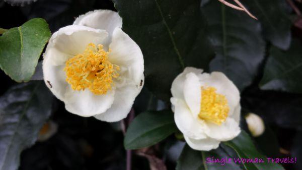 Macro - Rize tea turkish cay flower with ants