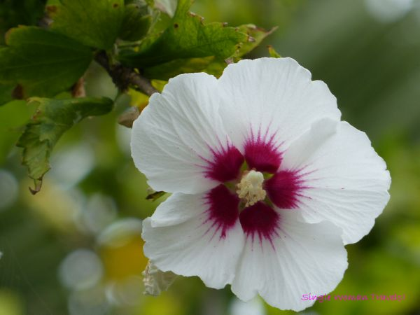 Macro Monday - Flowering maple bloom