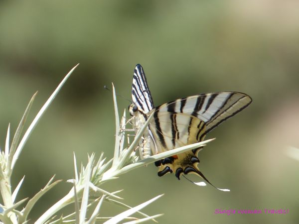Macro photography Monday - With Grace - butterfly lands on a plant in Lindos, Rhodes island, Greece