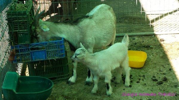 Goats at Hamat Gader Israel