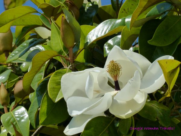 Macro Monday photography Magnolia flower nature Corfu Greece