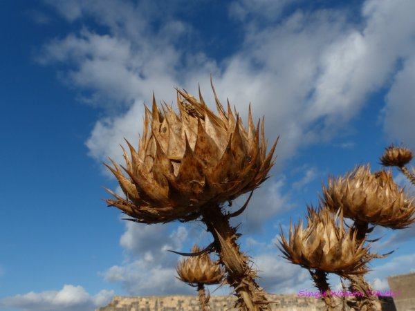 Macro photography Dried Thistle Blue sky Umm Qays Jordan