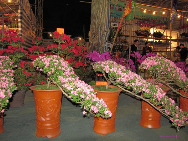 Bonsai style Azalea plants to decorate the house for Chinese New Year celebration