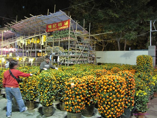 Tangerine plants to symbolize Gold to welcome wealth in Chinese New Year