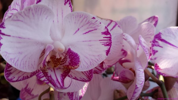 Close up photo a white Phalaenopsis orchid with purple veins at the 2015 Hong Kong Flower show