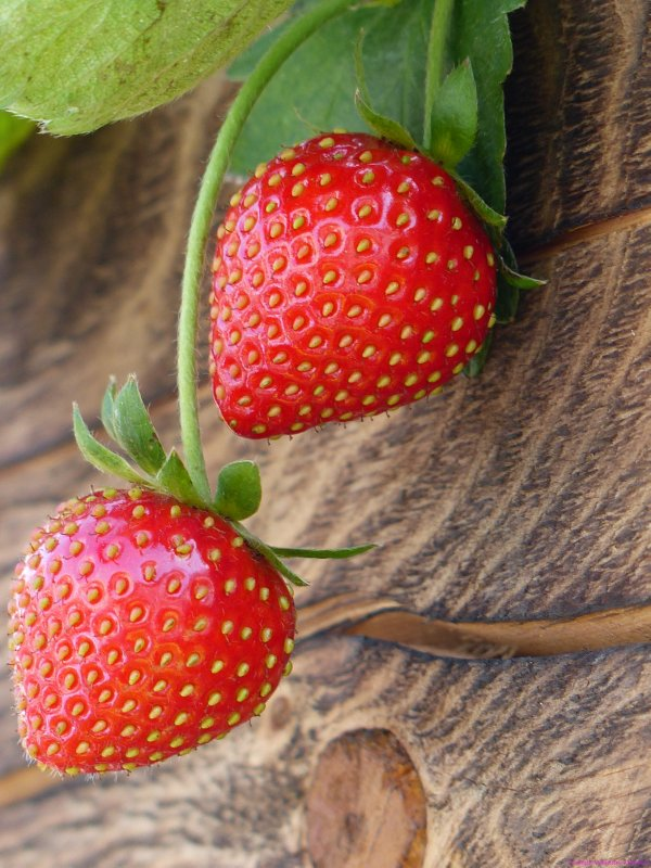 Fresh ripe strawberries drapping from side of wooden crate at 2015 Hong Kong flower show